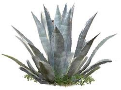 Riconoscere l'Aloe Arborescens rispetto l'Agave