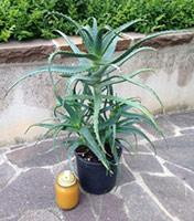 pianta di aloe arborescens 5 anni
