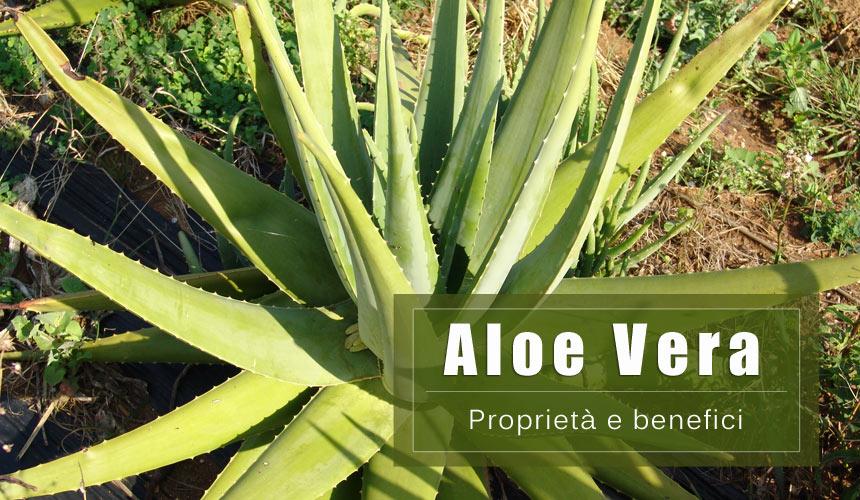 Aloe Vera Benefici: Cura della pelle, stitichezza e sistema immunitario