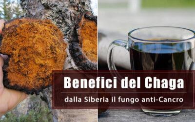 Chaga, dalla Siberia il fungo che combatte il Cancro, riduce i dolori e stimola la risposta immunitaria
